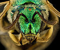Agapostemon melliventris, F, face, Shannon Co., S. Dakota 2014-01-10-15.00.04 ZS PMax (12251067186).jpg