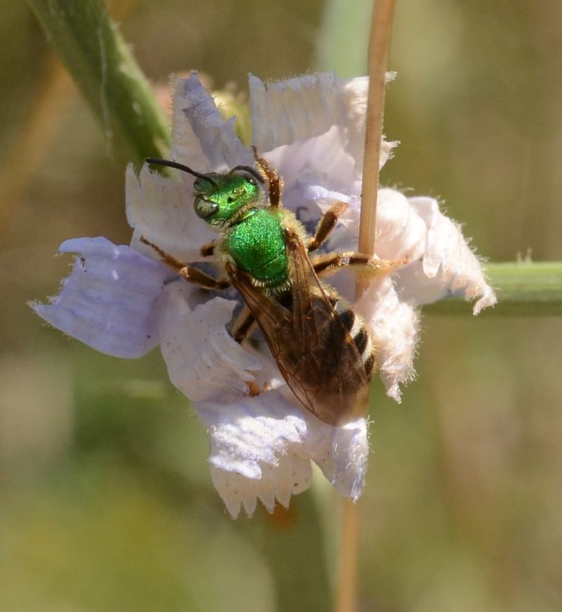 Agapostemon virescens (Sweat Bee) (27831732700).jpg