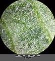 Agrimonia procera sl8.jpg