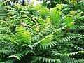 Ailanthus altissima-1.jpg
