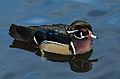 Aix sponsa (Wood Duck - Brautente) - Weltvogelpark Walsrode 2012-11.jpg