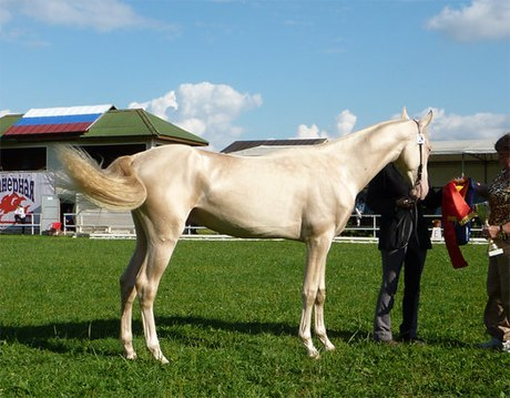 Ngựa trắng