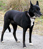 A black, short-furred dog.