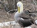 Albatross birds - Espanola - Hood - Galapagos Islands - Ecuador (4871676560).jpg