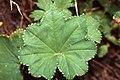 Alchemilla acutiloba leaf (01).jpg