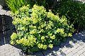 Alchemilla mollis - VanDusen Botanical Garden - Vancouver, BC - DSC06744.jpg