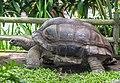 Aldabra giant tortoise (Aldabrachelys gigantea), Gembira Loka Zoo, 2015-03-15.jpg