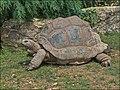 Aldabrachelys-gigantea-0001.jpg
