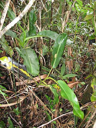 Nepenthes × alisaputrana - N. × alisaputrana (right) is often sympatric with N. rajah (left)