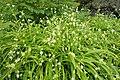 Allium paradoxum kz01.jpg