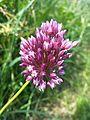 Allium rotundum sl10.jpg