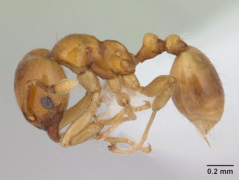 File:Allomerus octoarticulatus casent0006137 profile 1.jpg