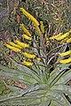 Aloe.marlothi.7080.jpg