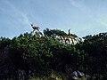Alpine Ibexes at Benediktenwand.jpg