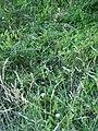 Alternanthera philoxeroides (C.Martius) Griseb. (AM AK301432-2).jpg
