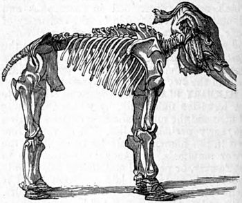 AmCyc Mammoth - skeleton.jpg