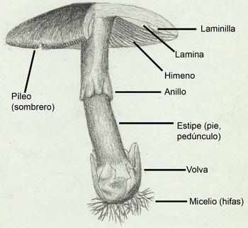 Resultado de imagen para estructura de los hongos