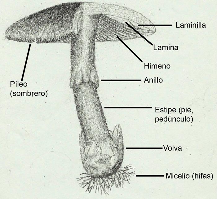 Anatomía de los hongos - Wikiwand