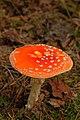 Amanita muscaria (29445744713).jpg