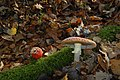 Amanita muscaria (29791637180).jpg