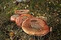 Amanita muscaria (8071942427).jpg