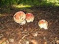 Amanita muscaria france 2007 - 3.jpg
