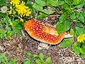 Amanita muscaria near Lac de Mines d'Or (2).jpg