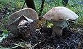 Amanita rubescens Mad. Gregorio 01.jpg