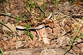 Amanita rubescens in Aveyron (2).jpg