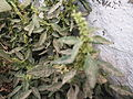 Amaranthus spinosus-3-yercaud-salem-India.JPG