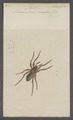 Amaurobius - Print - Iconographia Zoologica - Special Collections University of Amsterdam - UBAINV0274 068 06 0002.tif