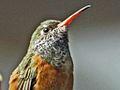 Amazilia Hummingbird SMTC2.jpg