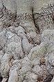 American Beech Fagus grandifolia Foot.JPG