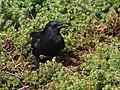 American Crow (45571520942).jpg