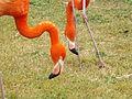 American Flamingoes 02.jpg