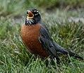 American Robin (16200921354).jpg