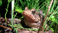 American Toad (5880281329).png