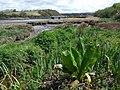 American skunk cabbage (Lysichiton Americana ) - geograph.org.uk - 1275786.jpg