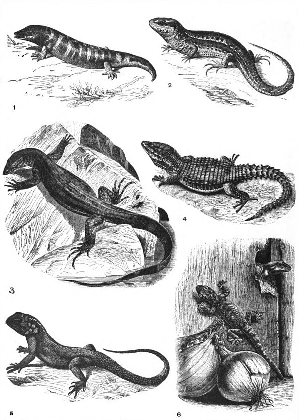Americana 1920 Lizard - Old World lizards.jpg