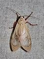 Amerila lupia (Erebidae, Arctiinae, Arctiini) (26954821820).jpg