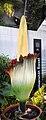 Amorphophallus titanum - Botanischer Garten der Universität Basel 01.jpg