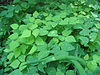 Amphicarpa bracteata - hog peanut - desc-foliage