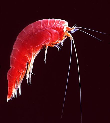 Amphipod with curved exoskeleton and two long and two short antennae Amphipodredkils.jpg