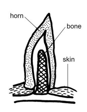 Horn (anatomy) - Anatomy and physiology of animal's horn