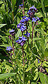Anchusa azurea Flower Stalk.JPG