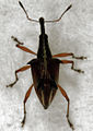 Ancistropterus quadrispinosus (alive).jpg