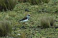 Andean Lapwing 2015-06-03 (5) (40264788662).jpg