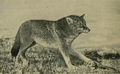 Andersch bros (1906) Brush wolf caught in trap.png