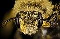 Andrena hirticincta , f, face, Maine, Du Clos 2015-12-01-11.24 (24244989859).jpg