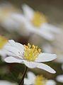 Anemones - kvitveis - hvitveis - 11.JPG